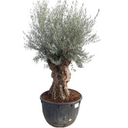 Olivier Olea europaea planté en pot de 500 litres