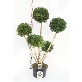 buis-pompon-6-branches