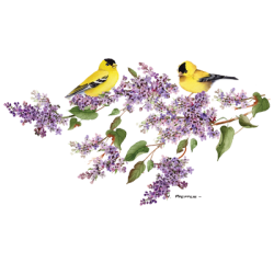 LILAC GOLDFINCH
