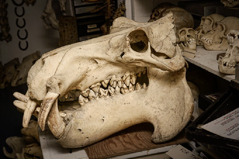 Image- Gigantic real animal skull, one of Raymond Bandar's prized collection