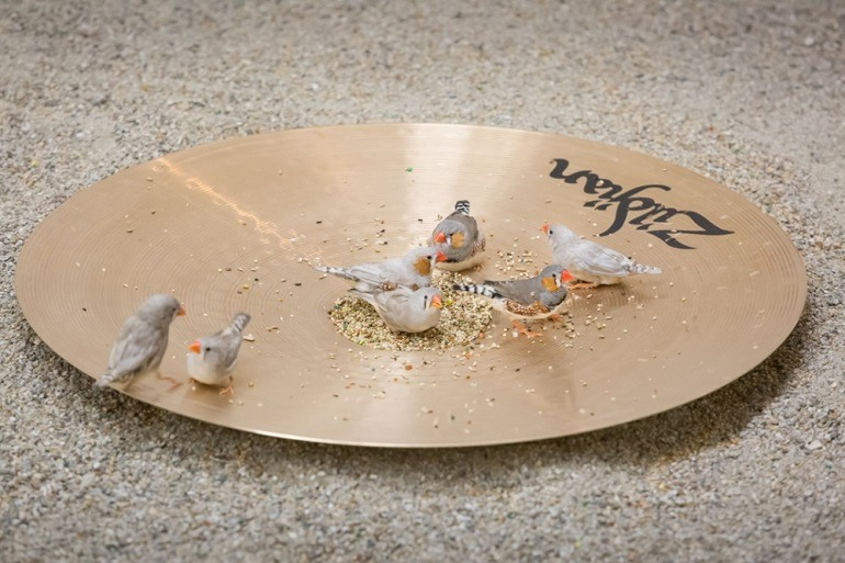 Image- Seven Zebra finches feeding on a Cymbal, a performance art that attracted a lot of art lovers .