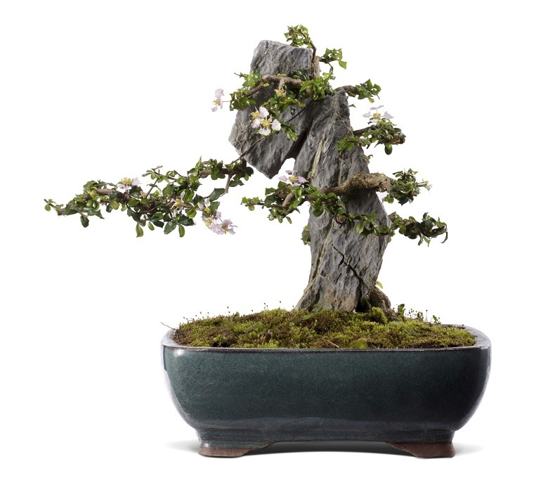 Image- Bonsai tree for sale at Sotherby's. It is titled Ilex cornuta (Chinese Holly) and planted circa 1990