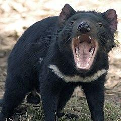 der tasmanischer teufel ist mit dem beutelwolf nur entfernt verwandt