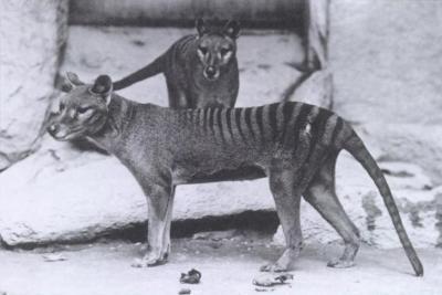 tasmanischer beutelwolf Thylacinus cynocephalus