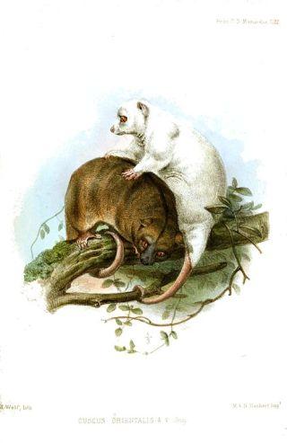 Cuscus Orientalis