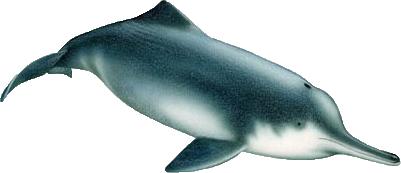 chinesischer flussdelfin / baijii / Lipotes vexillifer
