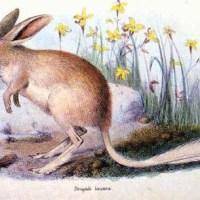 Kleiner Kaninchennasenbeutler