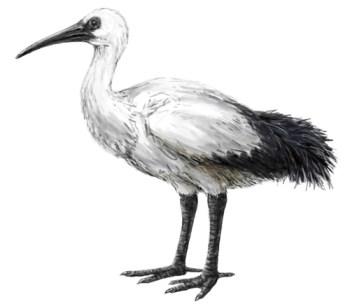 reunion-ibis Threskiornis solitarius