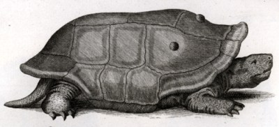 reunion-riesenschildkroete / Cylindraspis indica