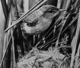nest mit laysanrohrsänger foto