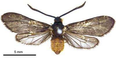 levuana-motte (Levuana iridescens)