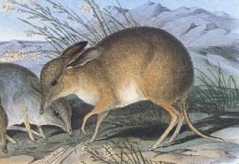 schweinsfuß-nasenbeutler Chaeropus ecaudatus