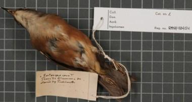 Zosterops albogularis / Norfolk Brillenvogel