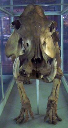 Hippopotamus lemerlei / Lemerles Flusspferd