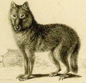 honshu-wolf zeichnung