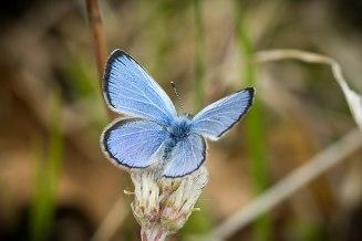 Silber-Bläuling Silvery Blue Glaucopsyche lygdamus
