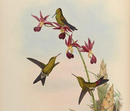 gouldsmaragdkolibri