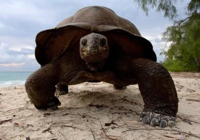 Aldabra Giant Tortoise als Ersatz für die Rodrigues-Riesenschildkröte