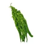 Amaranthus conservat verde H70