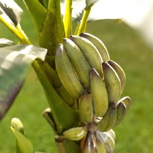Bananier artificial premium h145 detaliu