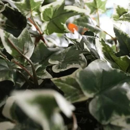 Ghirlanda Iedera bicolora 180cm artificiala Artflora detaliu