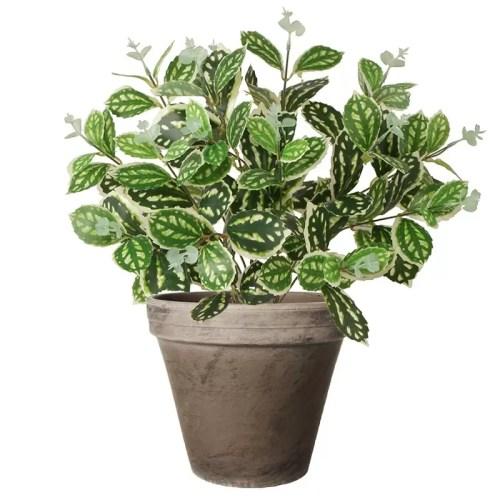 Philodendron tufa bicolor pic