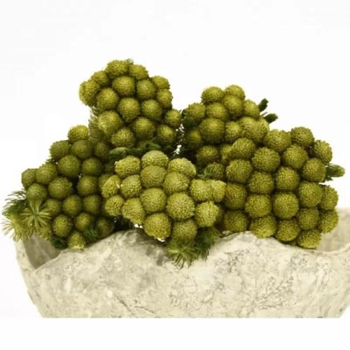 Planta conservata Brunia FISTIC
