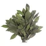 Planta conservata Castan verde
