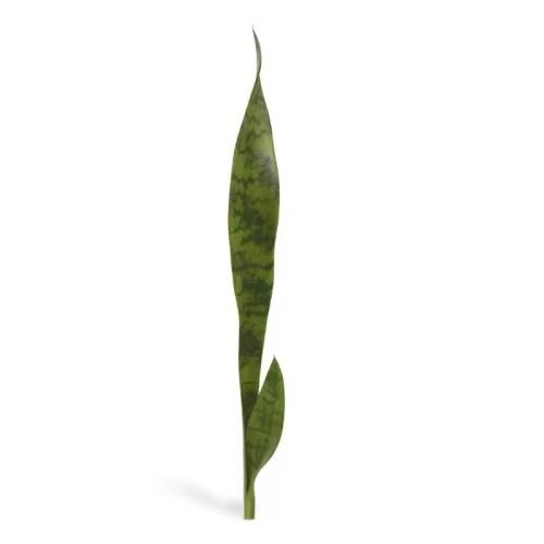 Sansevieria frunza