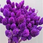 Phalaris violet set