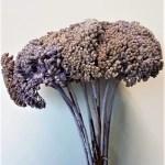 Planta uscata achilea lila
