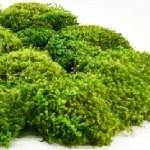 artflora hair moss
