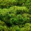 artflora hair moss 2
