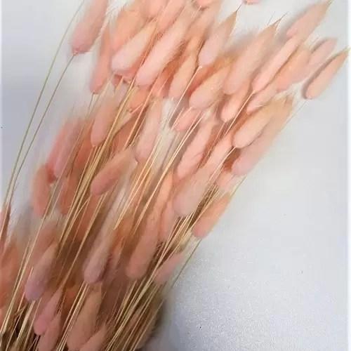 planta uscata lagurus somon