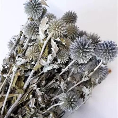 planta uscata scai echynops natur