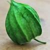 Flori Physalis stabilizate verde