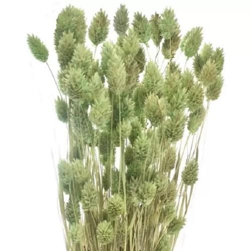 Phalaris uscat verde menta