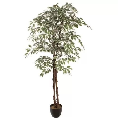 ficus variegat180