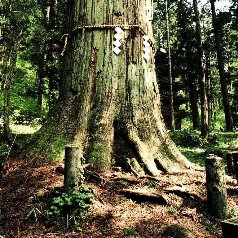 Legenda Sakaki Pohon Suci Agama Shinto Di Jepang