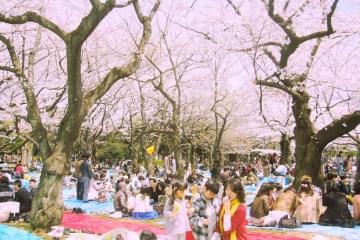 Informasi Jadwal Mekar Bunga Sakura Di Jepang