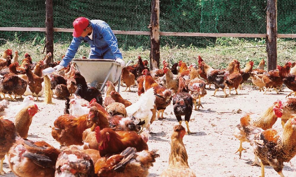 Ayam Jitokko Yang Diyakini Sebagai Ayam Terenak Di Dunia