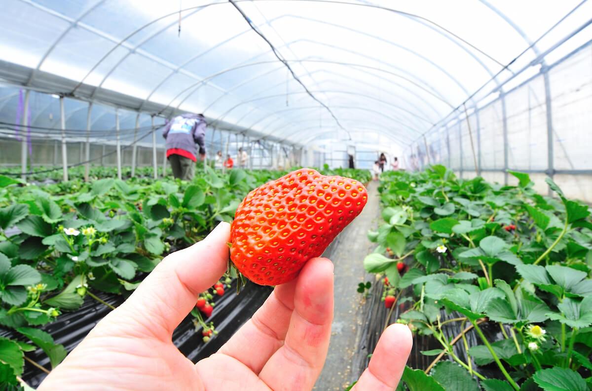 Pecinta Buah Stroberi ? Yuk, Kunjungi Beberapa Perkebunan Stroberi Di Jepang Berikut Ini !