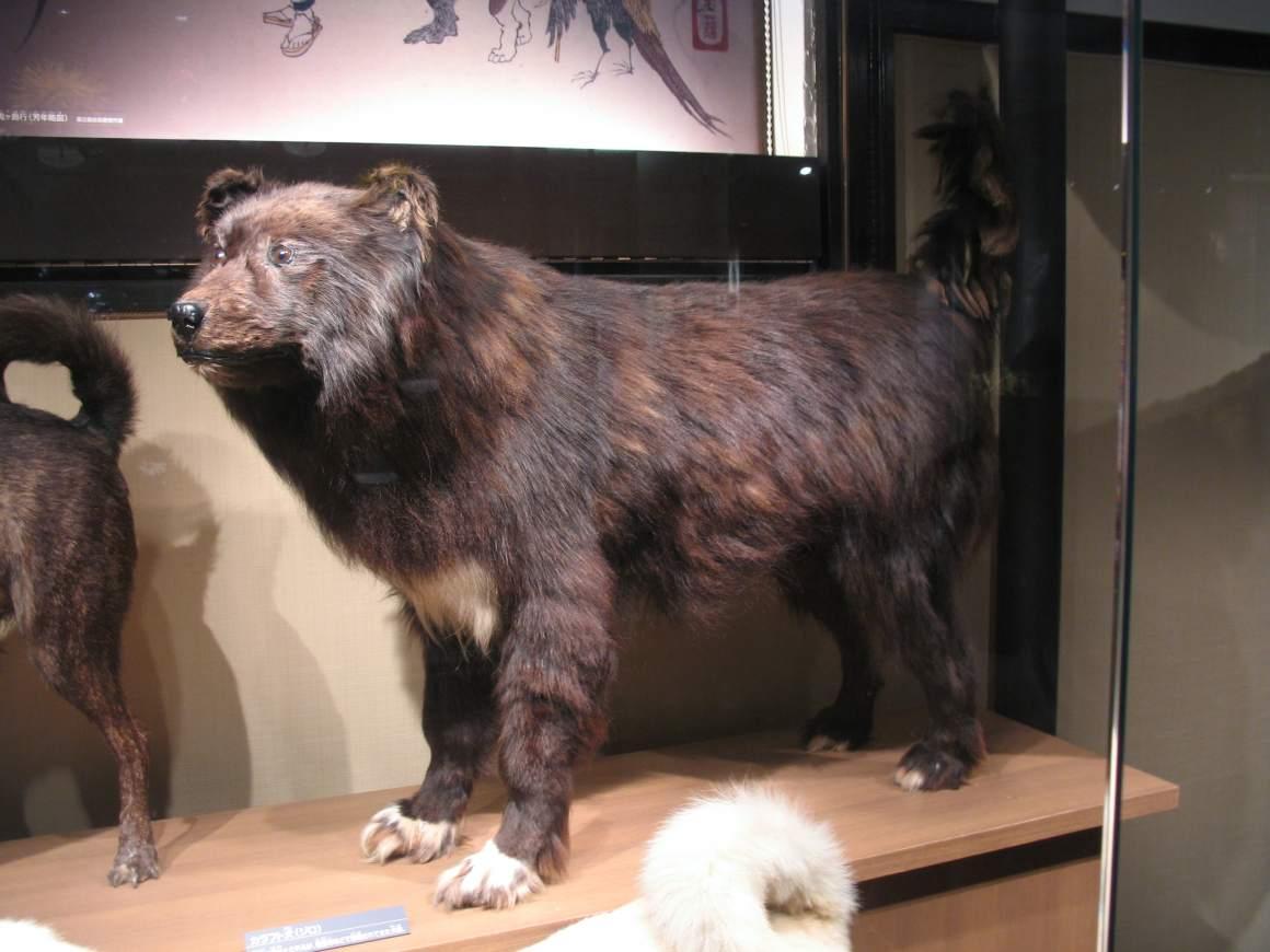 10 Jenis Anjing Ras Yang Disukai di Jepang 5-min