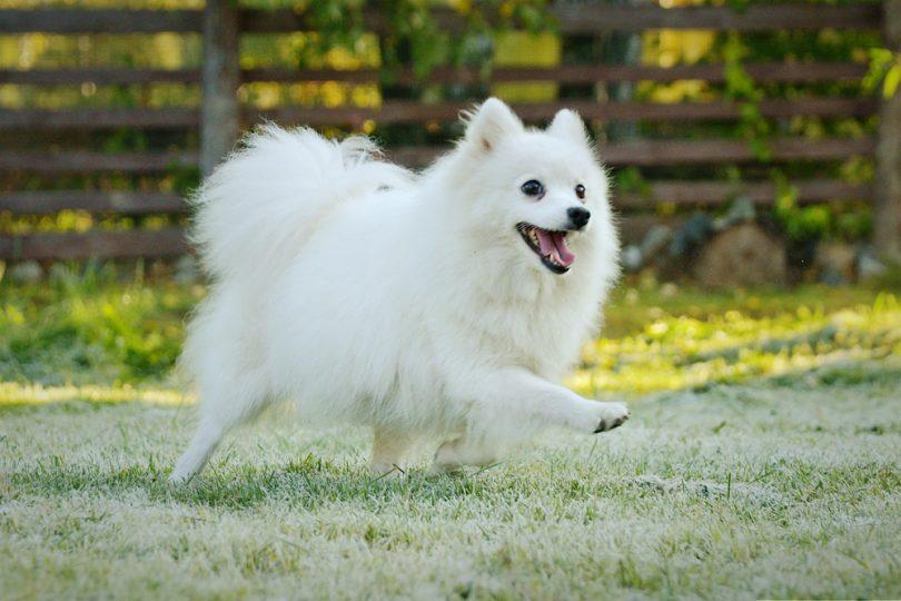 10 Jenis Anjing Ras Yang Disukai di Jepang 9