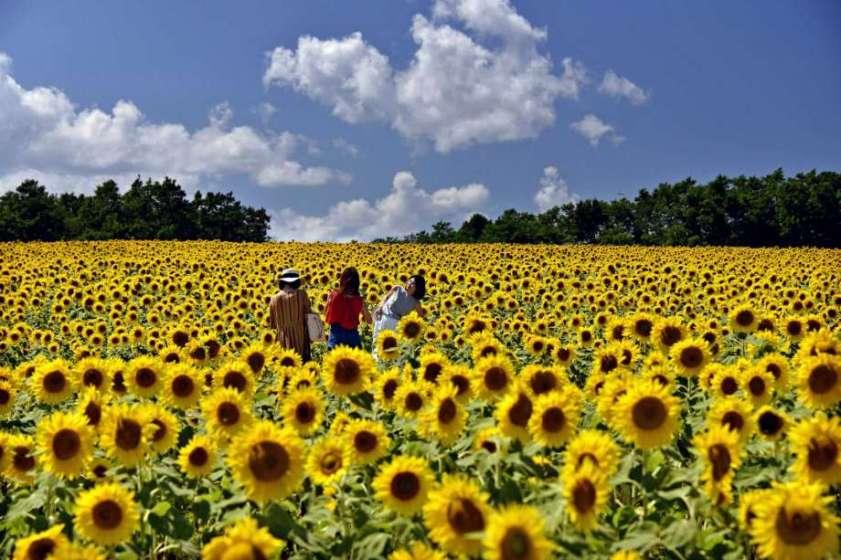 5 Surga Bunga Matahari Yang Wajib Kamu Kunjungi Ketika Berlibur Di Jepang !