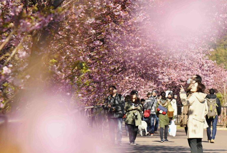 Festival Menyambut Musim Semi Di Jepang Terpaksa Batal Karena Wabah Virus Corona Yang Semakin Meluas