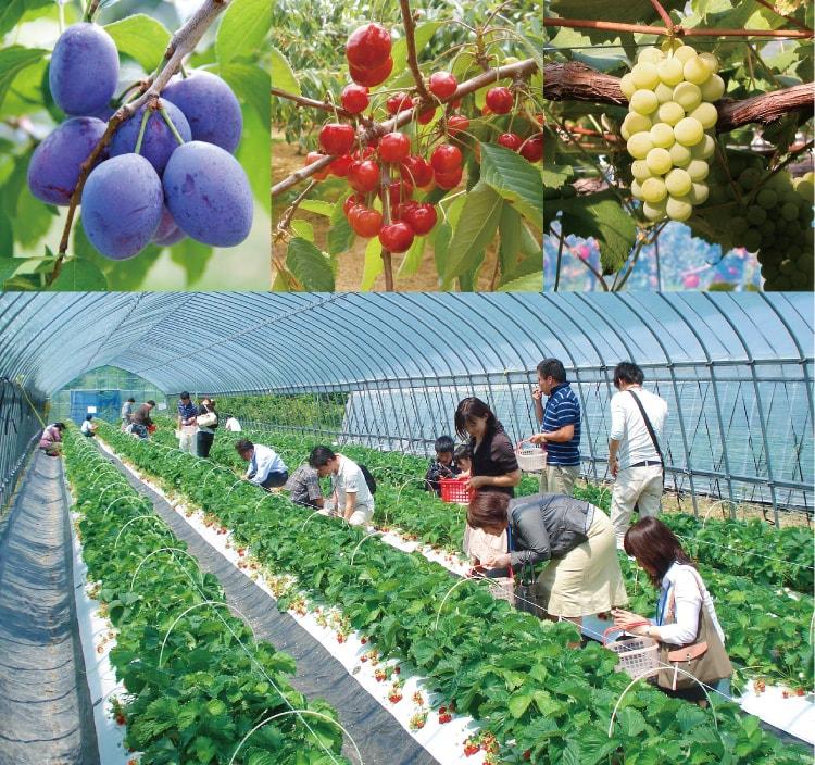 Petik Buah Sendiri, Nikmati Kesegarannya Di 5 Perkebunan Hokkaido Berikut Ini !