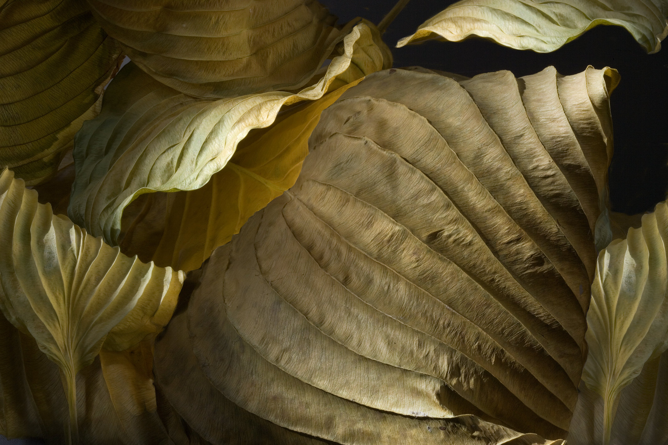 Hosta Leaves 6 By Ralph Gabriner Color Photograph