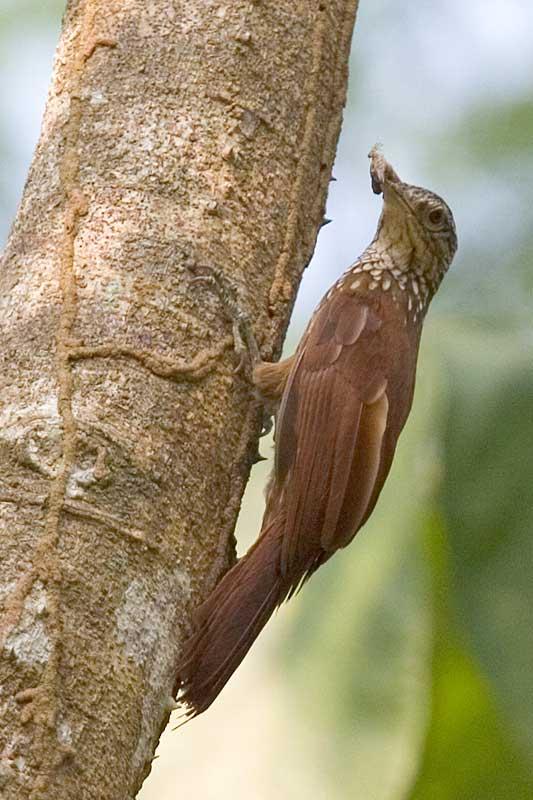 Grimpatroncs de bec dret (Xiphorhynchus picus)