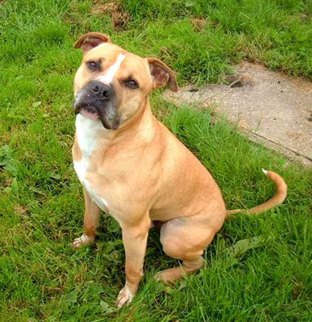 Bulldog Breeds: Banter Bulldogge